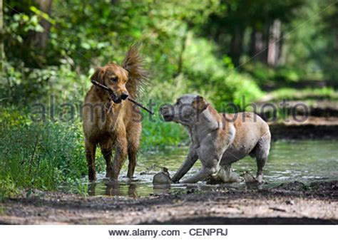 river rock golden retrievers golden retriever canis lupus f familiaris standing in the water stock photo