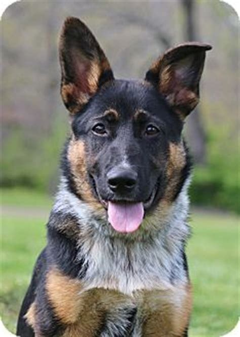 german shepherd australian cattle mix 17 best ideas about mixes on cutest mixes lab puppies for