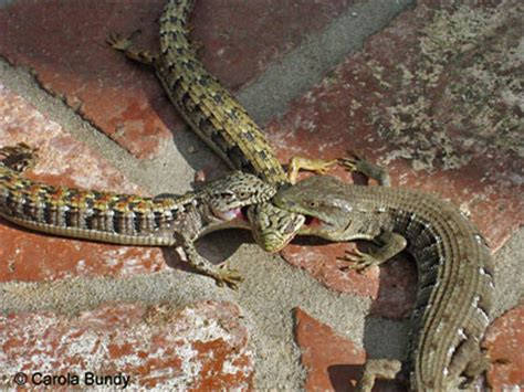 how to catch a lizard in your backyard lizard intraspecific fights