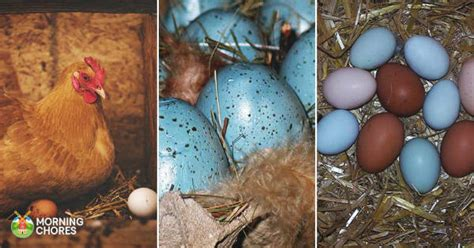 do chickens lay colored eggs chicken breeds that lay blue green pink white and other