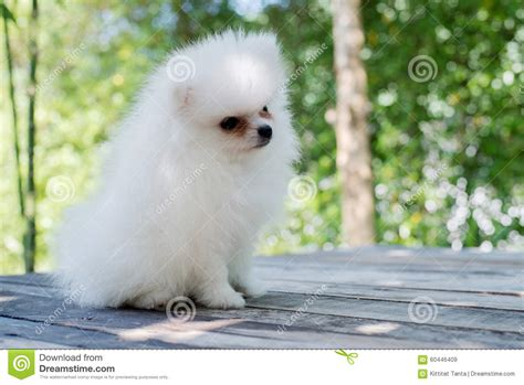 small white pomeranian puppies small white pomeranian stock photo image 60446409