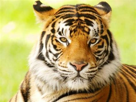 facts about the new year tiger 10 interesting bengal tiger facts my interesting facts