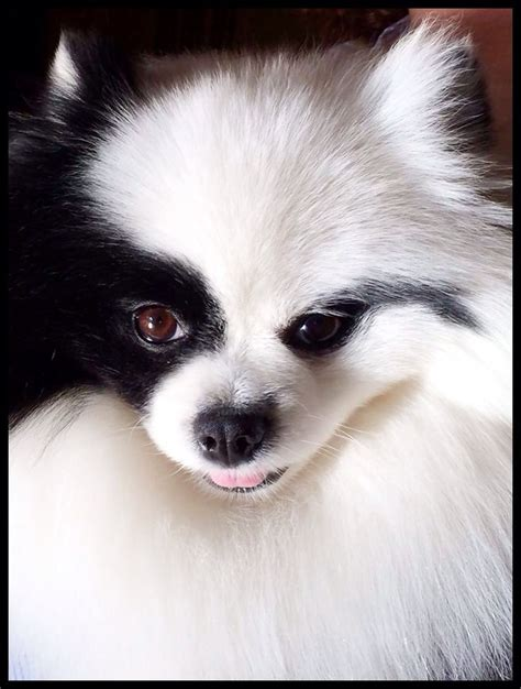 parti colored pomeranians black and white parti pomeranian