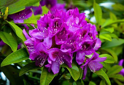 purple rhododendron edith bosley  tree center
