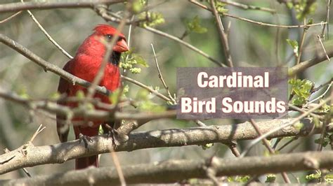 cardinal bird sounds youtube