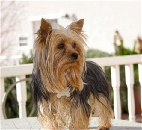 yorkie puppies for sale utah 25 best ideas about parti yorkies for sale on yorkie dogs for sale