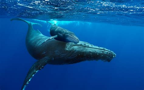 mom and baby whale on dive sea animals coloring page new documentary brings humpback whales to life in