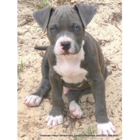 hot hot hot pitbull smokin hot kennels american pit bull terrier breeder in
