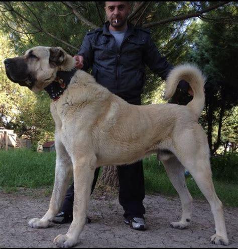 boz dogs photo gallery born guardians