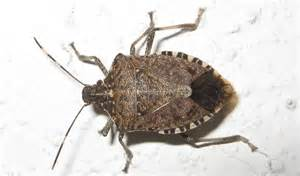 how to get rid of stink bugs in the house naturally home