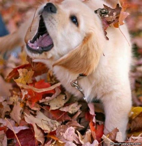 fall puppies puppy in the fall funnypuppysite