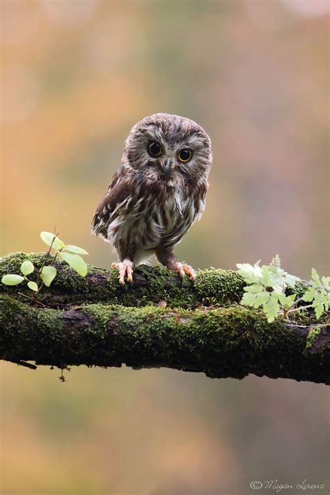 owl babies northern saw whet owl these are tiny full grown birds owl