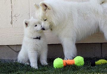 samoyed puppies seattle pacific crest samoyeds puppies sired by lightning