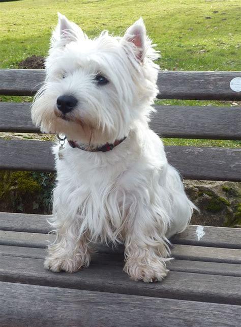 west highland puppies best 25 west highland terrier ideas on west highland terrier puppy