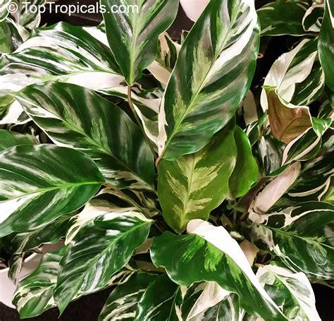 Tanaman Calathea White Fushion Berkualitas calathea hybrid calathea fusion white ppaf toptropicals
