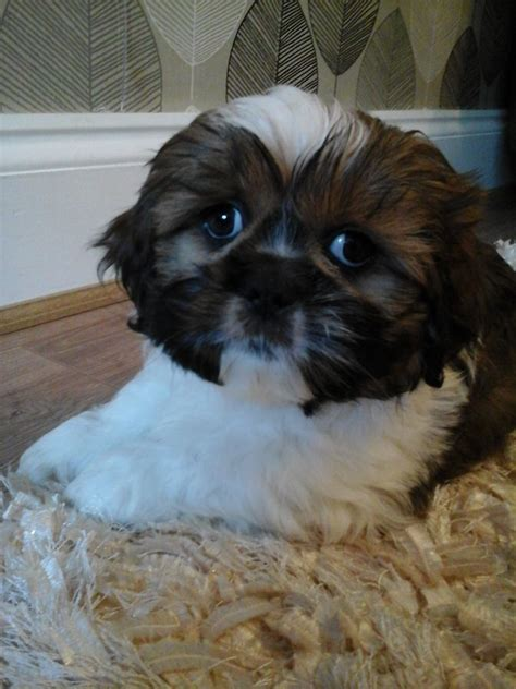 shih tzu puppies for sale tyne and wear beautiful shih tzu puppies for sale sunderland tyne and wear pets4homes