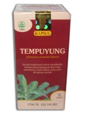 Obat Herbal Tempuyung kapsul daun tempuyung herbal penghancur batu ginjal