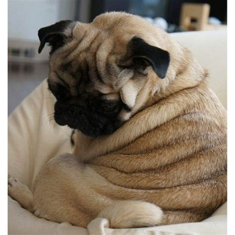 where did pugs originate from quot where did all these rolls come from quot pugs pug i wish and the roll