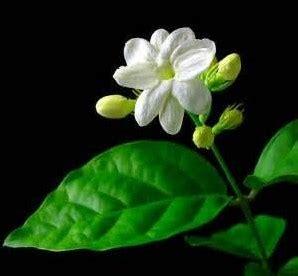 manfaat tanaman bunga melati jasminum sambac  ait