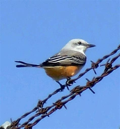 oklahoma state bird scissortail jamesyn discovers