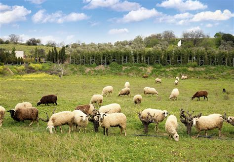 rising sheep raise sheep breeds to boost profits countryside network