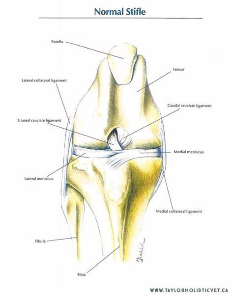 cruciate ligament tear 86 best acl tear in dogs images on