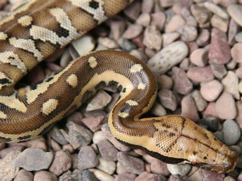 imagenes impresionantes de serpientes serpientes hermosas taringa