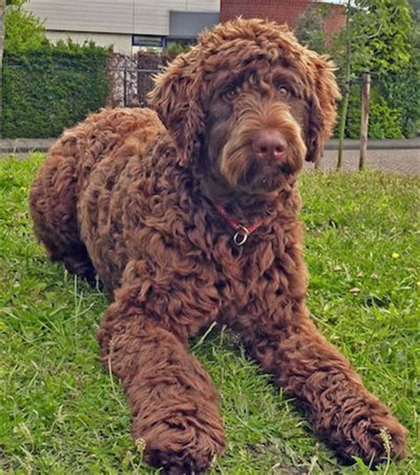 haired big dogs 17 best images about big dogs on tibetan mastiff poodle mix and