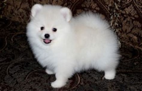 pomeranian puppies miami your gorgeous teacup pomeranian puppies for adoption miami fl free