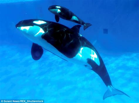 mom and baby whale on dive sea animals coloring page seaworld documentary blackfish faked scenes of mother