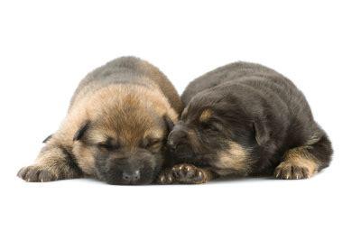 german shepherd newborn puppies chart to measure growth rate of your german shepherd