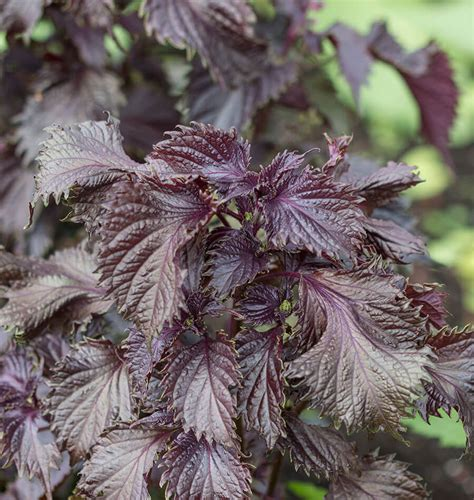 Red Perilla Shiso Seeds