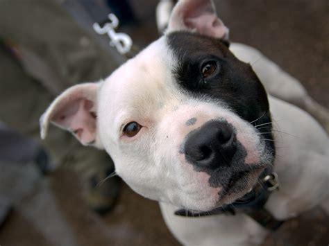 pitbull puppy wallpaper dogs pitbull wallpaper 1024x768 wallpoper 269170