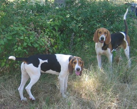 treeing walker coonhound puppies for sale treeing walker coonhounds for sale in