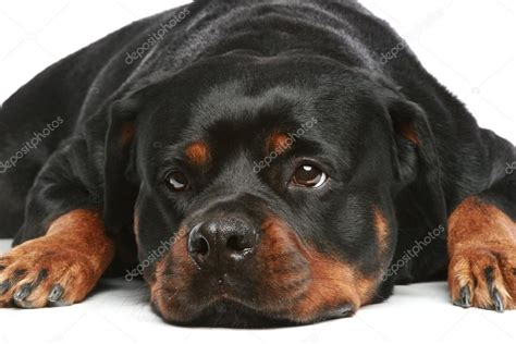 rottweiler white rottweiler lies on a white background stock photo 169 fotojagodka 4952499