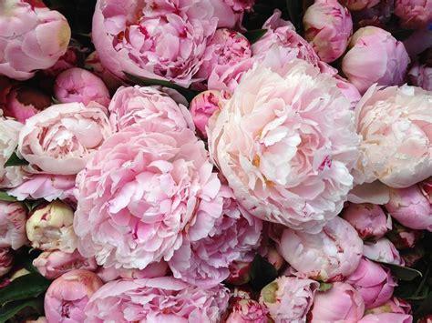 pink peonies lamb blonde my dream garden