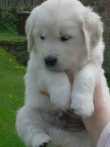 Kc pedigree golden retriever puppies for sale leek staffordshire