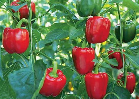Bibit Buah Paprika buah paprika mix color jualbenihmurah