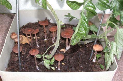 Psychoaktive Pilze Im Garten by Viele Psilos Im Garten Pic