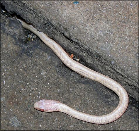 Garter Snake Juvenile Pictures Eastern Garter Snake Thamnophis Sirtalis Sirtalis