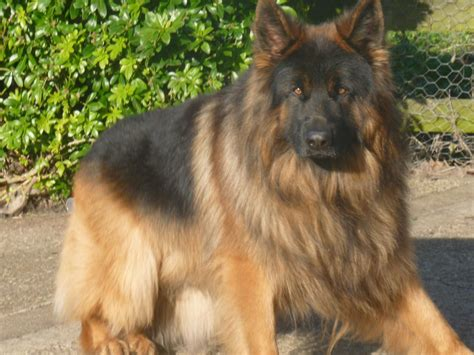 haired german shepherd black coat german shepherd quotes
