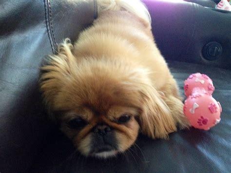 pekingese poodle lifespan 17 best images about pekingese on adoption