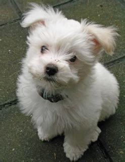 maltese puppies for sale in md adorable and cuddly maltese puppies maryland for sale eastern shore pets dogs