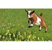 Baby Goat Spring Flowers Sweet Animals HD Wallpaper