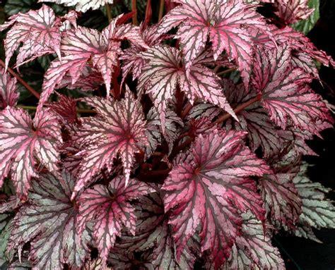 rex begonia varieties www imgkid com the image kid has it