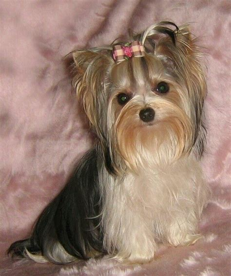 yorkie not 17 best images about yorkie biewers on show pups and yorkie