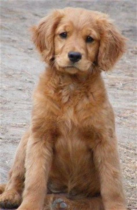 why is my golden retriever so small best 25 miniature dogs ideas on small dogs fluffy breeds and