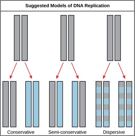 semiconservative replication involves a template what is the template semiconservative replication involves a template what is