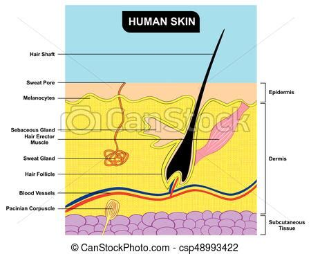 cross section human skin royalty free vector image human skin cross section anatomy diagram human skin cross section anatomy including all parts