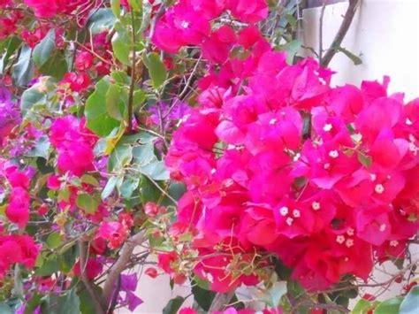 bouganville fiore bouganville potatura ricanti potature bounganville